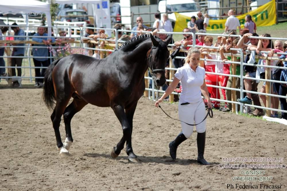 Canino, conclusa con successo la Mostra Nazionale del cavallo Maremmano