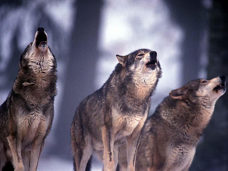 Allarme lupi tra Cerveteri e Bracciano