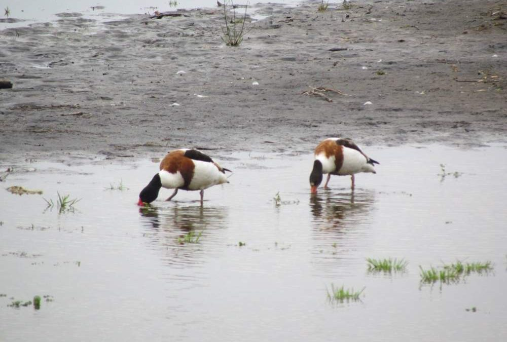 Una coppia di Volpoca avvistata per la prima volta nel lago di Bracciano