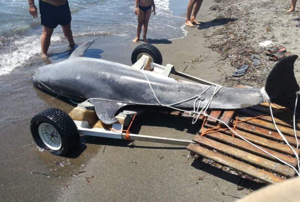Tarquinia, delfino morto in spiaggia: si impiglia nelle reti dei pescatori