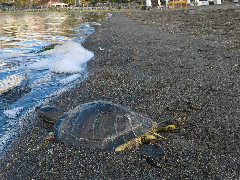 Tartaruga lago di Bracciano