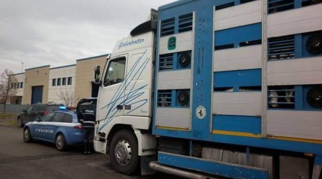 """Manziana """"ospita""""i maiali sequestrati dalla Polizia Stradale a Orvieto"""