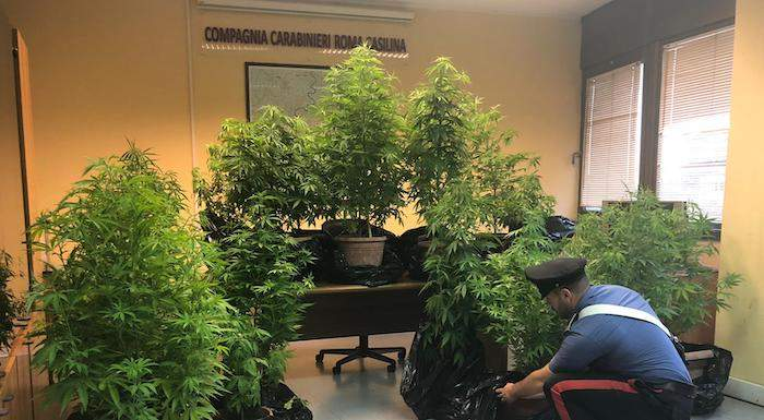 Le piante di marijuana sequestrate dai Carabinieri (1)