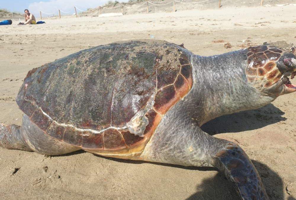 Fiumicino, tartaruga uccisa dalla plastica sulla spiaggia di Focene