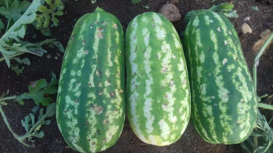 Tarquinia e Montalto in ginocchio per il maltempo: colture a rischio