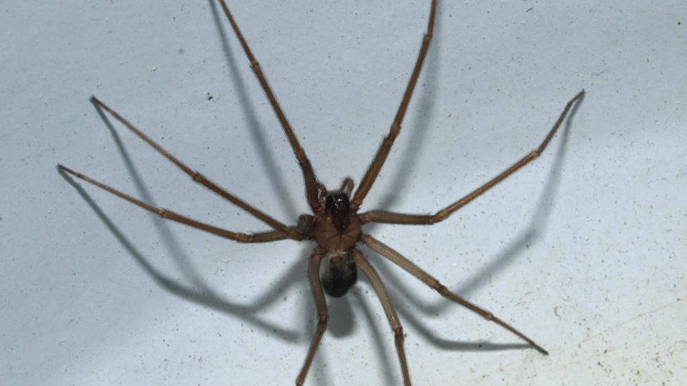 Morso del ragno violino: i sintomi e come comportarsi