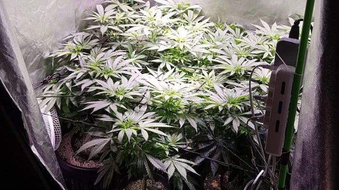 Marijuana fai da te: mini piantagione a Marcellina, camera 'stupefacente' a Guidonia
