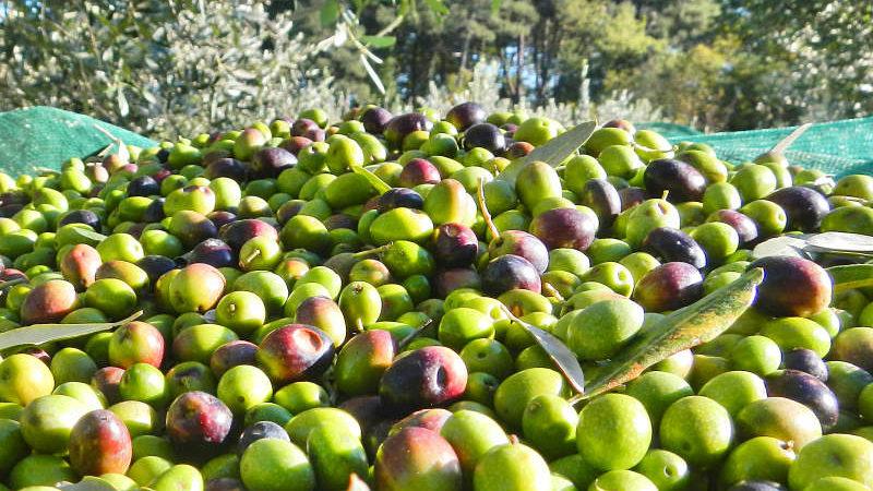 Cerveteri, pubblicato il bando per la raccolta gratuita delle olive