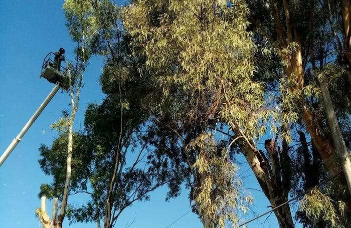 Fiumicino, potatura alberi a Tragliata