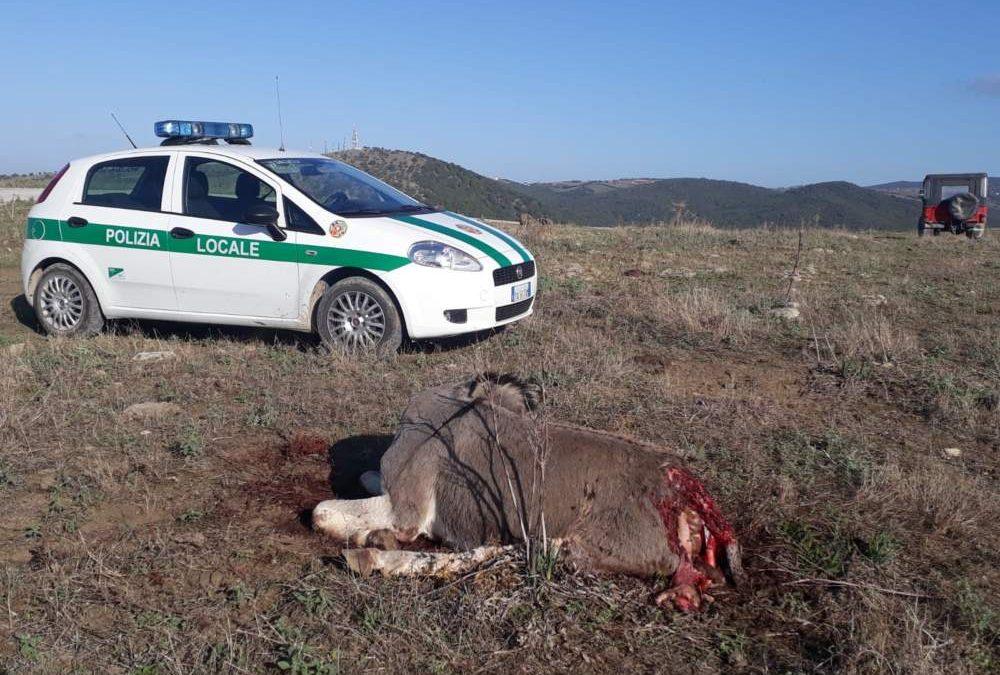 """Lupi e cani """"ibridi"""" attaccano il bestiame nelle campagne di Civitavecchia"""
