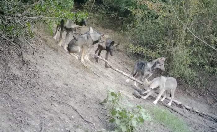 """Lupi del Litorale, Lipu: """"Presenza di ibridi è deleteria per conservazione della specie"""""""