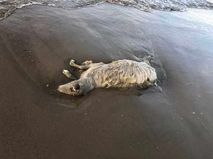 Focene, pecora trovata morta in spiaggia