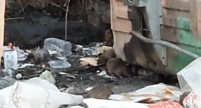 Colle del Sole: topi in strada banchettano tra i rifiuti