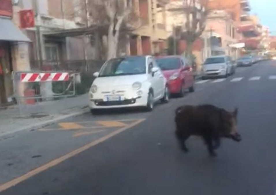 """Ladispoli, stavolta il cinghiale """"passeggia"""" in centro VIDEO"""